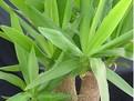 despre ingrijirea yucca
