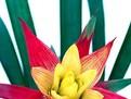 Guzmania Minor, cum se ingrijeste guzmania, cum se inmulteste guzmania, plante si flori de apartament, balcon, casa, gradina, fertilizare Guzmania Minor