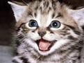 Proteinele din hrana pisicilor, Cerealele si legumele in hrana pisicutelor,  Proteinele din hrana pisicilor, Autoinfometarea la pisicute, Ce mananca pisicutele, hrana pisicilor, despre pisica, ce mananca pisica