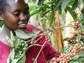 cafeaua_in_kenya_400