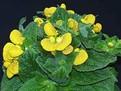 despre Calceolaria