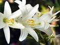 Crinul alb: beneficii pentru sanatate si utilizari terapeutice