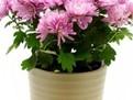 Crizanteme si tufanele in ghiveci