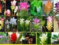 Curcuma: Cultivare, intretinere, imultire