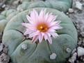 Peyotl, cactusul interzis
