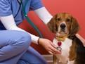 Bolile ficatului la caini si catei: Tratament si prognostic