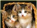 adoptii pisici, adap[osturi animale, pisicute, de unde sa adopt o pisicuta