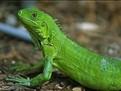 ingrijirea iguanei, iguana, bolile unei iguane, alegerea iguanei