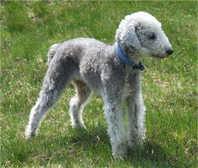 bedlington_terrier_400